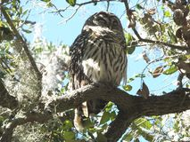 Barred Owl Strix varia. Barred Owl sleeping in the tree stock photos