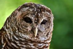 Barred Owl (Strix varia). Close-up of a Barred Owl (Strix varia) face Stock Image