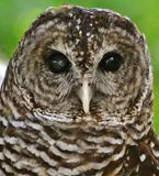 Barred Owl (Strix varia). Close-up of a Barred Owl (Strix varia) face royalty free stock images