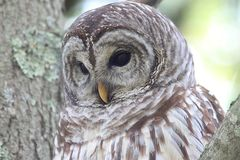 Barred Owl Strix varia. Close-up of a Barred Owl Strix varia in a tree royalty free stock images