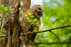 Barred owl (Strix varia) holding crayfish in tis beak. Barred owl is best known as the hoot owl for its distinctive call stock photos