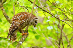 Barred owl (Strix varia) holding crayfish in tis beak. Barred owl is best known as the hoot owl for its distinctive call stock images