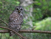 Barred Owl. A Barred Owl Strix varia looking back while perched on a branch. Shot on Gabriola Island, British Columbia, Canada royalty free stock image