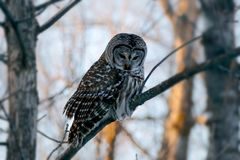 Barred owl strix varia or northern barred owl or hoot owl perched on branch. Closeup royalty free stock image