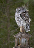 Barred Owl (Strix varia). A Barred Owl perched on a backyard bird feeder braves the cold and the wind in Ontario, Canada during the month of February stock photo