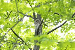 A Barred owl Strix varia perched on a branch in the spring forest hunts for a meal in Canada. Barred owl Strix varia perched on a branch in the spring forest stock images