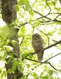 A Barred owl Strix varia perched on a branch in the spring forest hunts for a meal in Canada. Barred owl Strix varia perched on a branch in the spring forest royalty free stock images