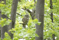 A Barred owl Strix varia perched on a branch in the spring forest hunts for a meal in Canada. Barred owl Strix varia perched on a branch in the spring forest royalty free stock photos