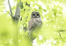 A Barred owl Strix varia perched on a branch in the spring forest hunts for a meal in Canada. Barred owl Strix varia perched on a branch in the spring forest royalty free stock photography