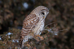 Barred owl Strix varia perched on a branch in winter Stock Image