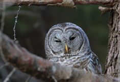 A Barred owl Strix varia perched at sunset on a branch hunting for a meal in winter in Canada. Barred owl Strix varia perched at sunset on a branch hunting for a stock photography