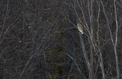 A Barred owl Strix varia perched at sunset on a branch hunting for a meal in winter in Canada. Barred owl Strix varia perched at sunset on a branch hunting for a stock photos