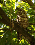 A Barred Owl Strix varia Royalty Free Stock Photo