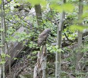 The Barred Owl Strix varia Perched in the Woods - Shenandoah National Park. The Barred Owl, Strix varia Perched in the Woods - Shenandoah National Park royalty free stock photography