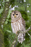 Barred owl (Strix varia). Portrait (Georgia, USA royalty free stock photography