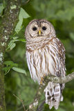Barred owl (Strix varia). Portrait (Georgia, USA royalty free stock photos