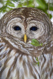 Barred owl (Strix varia) Stock Photo