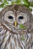 Barred owl (Strix varia). Portrait (Georgia, USA Stock Photo