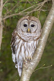 Barred owl (Strix varia) Royalty Free Stock Image