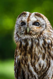 Barred owl (strix varia) Stock Images
