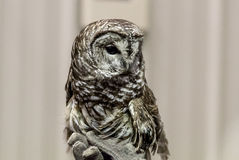 Barred Owl Strix Varia portrait. Barred Owl Strix Varia has a common distinctive call sounding like who cooks for you stock photos