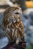 Barred owl (strix varia) Stock Photos