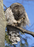 Barred Owl (Strix varia) Preening. A Barred Owl perched in a tree preens itself on a cold winter's day. While its talons appear sharp, they are not strong and royalty free stock image