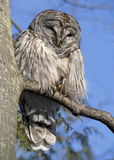 Barred Owl (Strix varia) Preening Stock Photography