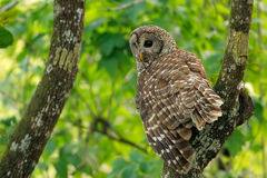 Barred owl (Strix varia) sitting on a tree Royalty Free Stock Photos