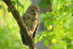Barred owl (Strix varia) sitting on a tree. Barred owl is best known as the hoot owl for its distinctive call stock images