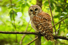 Barred owl (Strix varia) sitting on a tree Royalty Free Stock Photo
