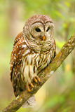 Barred owl (Strix varia) sitting on a tree. Barred owl is best known as the hoot owl for its distinctive call stock photos
