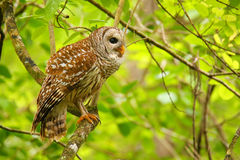 Barred owl (Strix varia) sitting on a tree. Barred owl is best known as the hoot owl for its distinctive call stock image