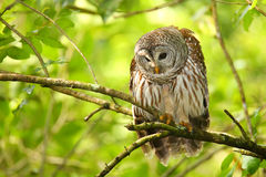 Barred owl (Strix varia) sitting on a tree. Barred owl is best known as the hoot owl for its distinctive call royalty free stock photo
