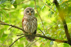 Barred owl (Strix varia) sitting on a tree Stock Photography