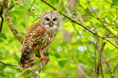 Barred owl (Strix varia) sitting on a tree. Barred owl is best known as the hoot owl for its distinctive call royalty free stock photography