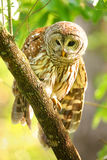 Barred owl (Strix varia) sitting on a tree. Barred owl is best known as the hoot owl for its distinctive call royalty free stock image