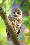 Barred owl (Strix varia) sitting on a tree. Barred owl is best known as the hoot owl for its distinctive call royalty free stock photos
