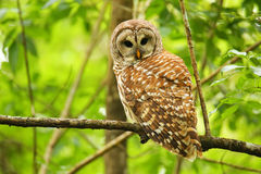 Barred owl (Strix varia) sitting on a tree. Barred owl is best known as the hoot owl for its distinctive call stock photography