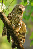 Barred owl (Strix varia) stretching its wing. Barred owl is best known as the hoot owl for its distinctive call stock photo