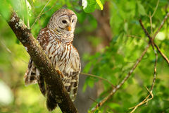 Barred owl (Strix varia) stretching its wing. Barred owl is best known as the hoot owl for its distinctive call royalty free stock image