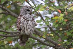 Barred Owl Strix varia. In a tree royalty free stock images