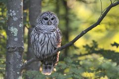 Barred Owl Strix varia. In a tree with a green background royalty free stock images