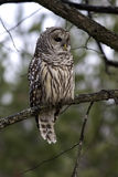 Barred Owl at sunrise. Royalty Free Stock Image