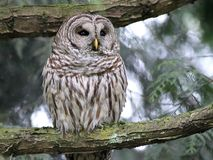Barred Owl Thinking Stock Photography