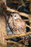 Barred owl in tree Royalty Free Stock Photography