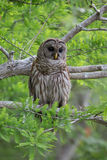 Barred owl in tree Royalty Free Stock Image