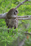 Barred owl in tree Stock Photo