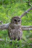 Barred owl in tree Stock Photos