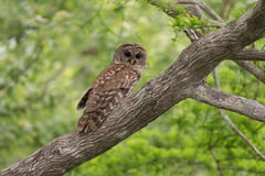 Barred owl in tree Royalty Free Stock Photos